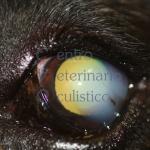 Degenerazione corneale endoteliale Boxer