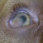 Dermoide Corneale - Dogue di Bordeaux cucciolo