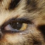 Entropion - gatto Main Coon adulto