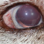 Glaucoma cronico - Siberian Husky adulto