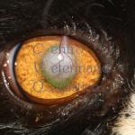 Lembo congiuntivale peduncolato gatto