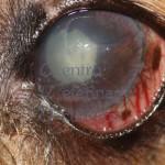 Uveite Lente Indotta e Glaucoma - cane Meticcio